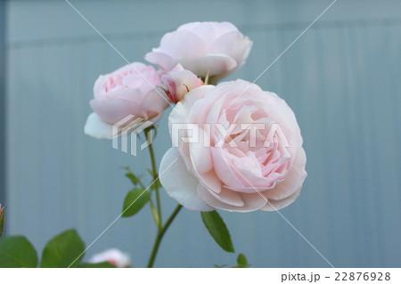 初夏の薔薇 22876928