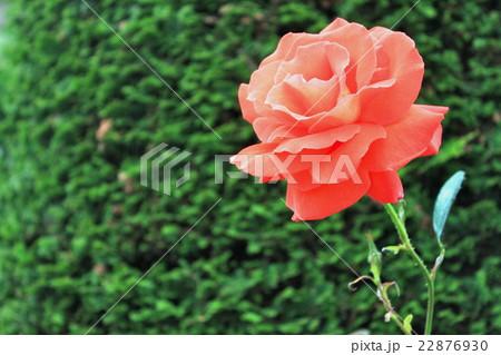 満開のオレンジ色のバラ 22876930