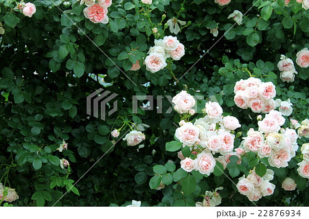 あふれるバラの花 22876934