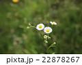 ハルジオン キク科 貧乏草の写真 22878267