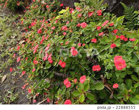 東京都・八丈島の道端に育つ熱帯植物の赤い花 22888555