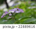 薄紫 紫陽花 額紫陽花の写真 22889616