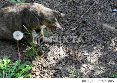 のら猫vsムカデ 22891005