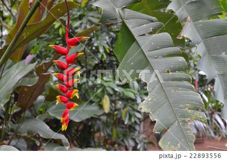 葉がバナナに似ているアマゾン原産のヘリコニア・ロストラータ 22893556