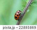 クロボシツツハムシ 昆虫 甲虫の写真 22893869