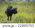 Cape buffalo in long grass looking right 22895755