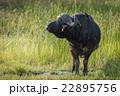 Cape buffalo in long grass turning head 22895756