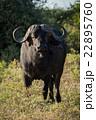 Cape buffalo standing facing camera in sunshine 22895760