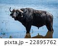 Cape buffalo standing in shallows facing camera 22895762
