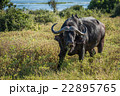 Cape buffalo with yellow-billed oxpeckers on back 22895765