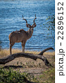 Male greater kudu behind log facing camera 22896152