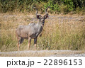 Male greater kudu stands in grass facing camera 22896153