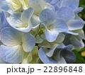 紫陽花とコハナグモ(♀) 22896848