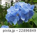 紫陽花とコハナグモ(♂) 22896849