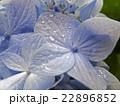 雨に濡れる紫陽花 22896852