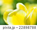 チューリップ 花弁 植物の写真 22898788