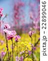 菜の花と桃の花 22899046
