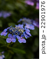 高幡不動尊の紫陽花 22901976