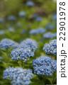 高幡不動尊の紫陽花 22901978
