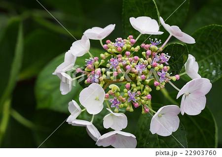 ステキな色どりの花芯が美しい額紫陽花 22903760