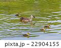 舎人公園の噴水池のカルガモの親子 22904155