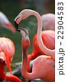 フラミンゴの親子 22904583