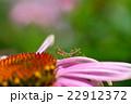カマキリの幼虫とムラサキバレンギク 22912372