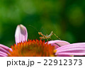 カマキリの幼虫とムラサキバレンギク 22912373