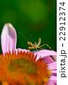 カマキリの幼虫とムラサキバレンギク 22912374