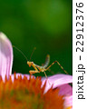 カマキリの幼虫とムラサキバレンギク 22912376