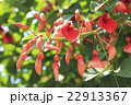 アメリカデイゴの花・蕾 22913367