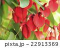 アメリカデイゴの花 22913369