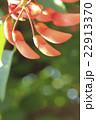 アメリカデイゴ 海紅豆 蕾の写真 22913370