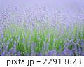 初夏の花 ラベンダー 22913623