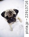 雪の公園で散歩するパグ 22913716