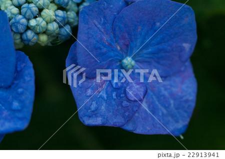 紫陽花の花と水, しずく 22913941