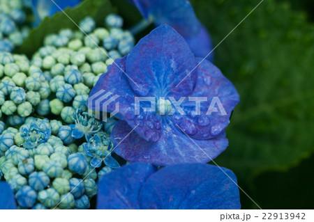 アジサイの花と蕾, 水, しずく 22913942