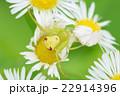 昆虫 22914396
