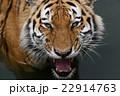 トラの咆吼2 22914763