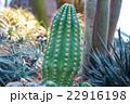 植物 サボテン さぼてんの写真 22916198