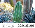 植物 サボテン さぼてんの写真 22916199