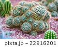 植物 サボテン さぼてんの写真 22916201