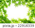 モミジ 新緑 背景の写真 22916339