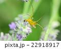 ラベンダーの花にとまるササグモ 22918917