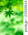 新緑(青モミジ) 22920614