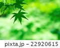 新緑(青モミジ) 22920615