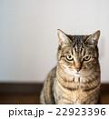 猫 キジネコ カメラ目線の写真 22923396