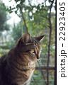 猫 窓 窓辺の写真 22923405