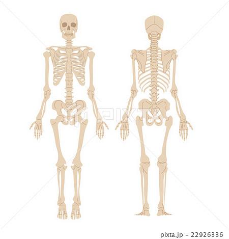 人体骨格 イラスト 22926336
