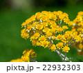 白妙菊 花 キク科の写真 22932303